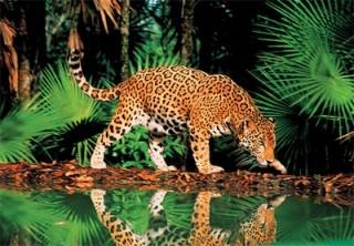 Пазл Леопард у воды 1000 элементов Step Puzzle