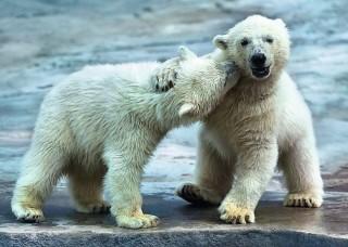Пазл Белые медведи 500 элементов Trefl