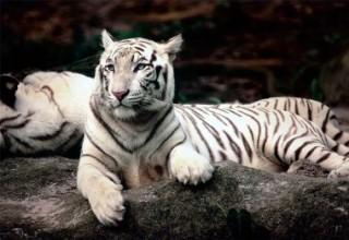 Пазл Бенгальские тигры 1500 элементов Trefl