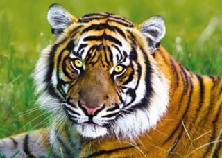 Пазл Тигр 500 элементов Trefl